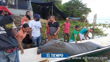 Pescadores descubren dos manatíes sin vida en ciénaga de Ayapel - El Tiempo