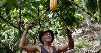 Chigorodó, el pueblo campesino de Colombia que recurre al cacao para hacer frente a la crisis y a la violencia - Clarín.com