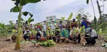 DEVIDA y la municipalidad distrital de Uchiza entregan 3000 hijuelos de plátano - Diario Voces