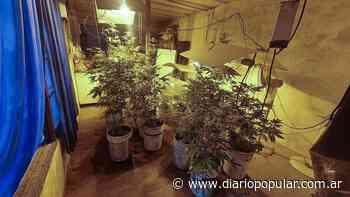 Los Polvorines: secuestran 55 plantas de marihuana - Popular