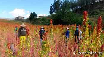 Cajamarca: agricultores de Cajabamba siembran 30 hectáreas de quinua   LRND - LaRepública.pe