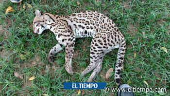 Vuelve y juega: tigrillo murió arrollado por un carro en Córdoba - El Tiempo