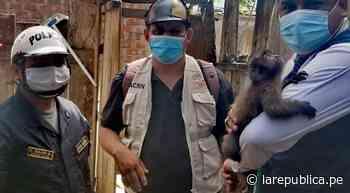 San Martín: rescatan a mono retenido en una vivienda de Juanjuí LRND - LaRepública.pe