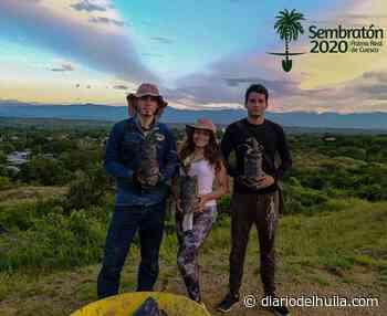 Aipe gestiona la recuperación de su árbol insigne: Palma Real de Cuesco - Diario del Huila