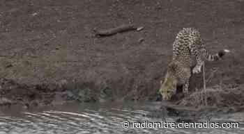 Video: letal ataque de un cocodrilo a una chita en el lago - Radio Mitre