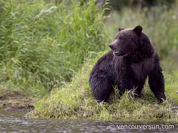 Coastal B.C. First Nations seek bigger role in grizzly bear management