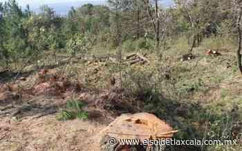 Talan árboles plagados por descortezador, en el ocotal - El Sol de Tlaxcala