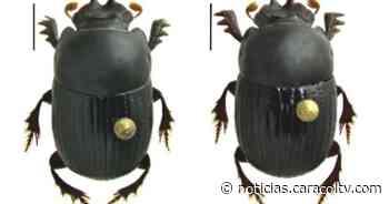 Científicos descubrieron en el Carmen de Viboral una nueva especie de escarabajo - Noticias Caracol