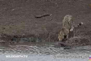 Video: Cocodrilo sorprende a chita en lago y lo sumerge en el agua - e-consulta