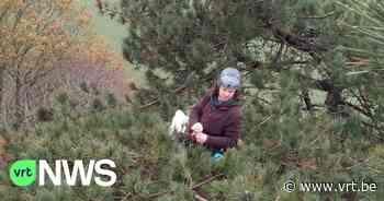 In bos van Koekelare halen boomklimmers zaad uit dennen - VRT NWS