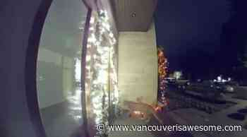 Watch this cougar stroll up to a festive North Vancouver home (VIDEO) - Vancouver Is Awesome