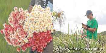 La Flor de Inírida que un tolimense logra preservar y hacerla 'eterna' - El Nuevo Dia (Colombia)