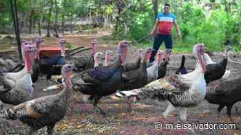 Suchitoto, el municipio donde se cría el mejor pavo para la cena navideña en libertad - elsalvador.com