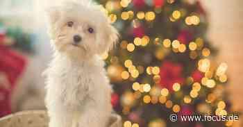 Süße Welpen unterm Weihnachtsbaum? Experten warnen Hundebesitzer - FOCUS Online