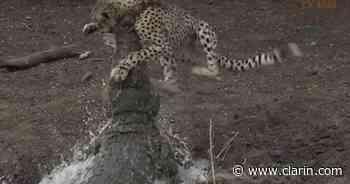 Video: un cocodrilo caza a una chita que bebía de un estanque - Clarín.com