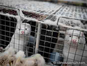 COVID-19: Three mink test positive at second Fraser Valley farm