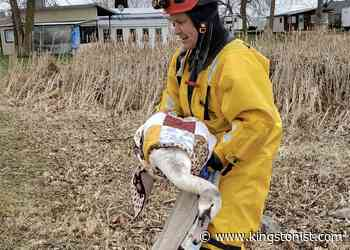 Greater Napanee firefighters rescue stuck swan – Kingston News - Kingstonist