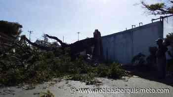 ¡Tremendo susto! Cayó un árbol del Liceo Jacinto Lara de Cabudare - Noticias Barquisimeto