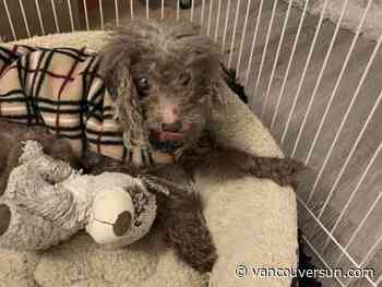 Do you know 'Maria'? Search on for owner of well-trained, leashed dog found in Saanich