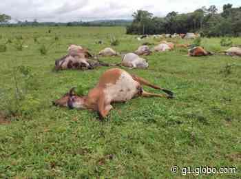 Raio mata 25 cabeças de gado em Ouro Preto do Oeste, RO - G1