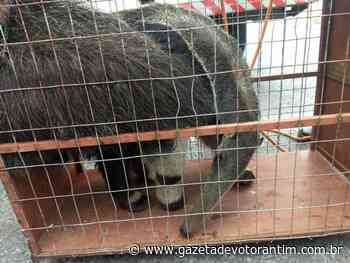 Tamanduá é capturado em escola de Salto de Pirapora e solto em área verde de Votorantim - Gazeta de Votorantim