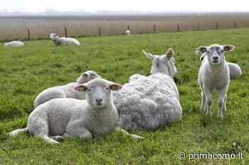 """Rubate 400 pecore a Luisago, il proprietario: """"Persi 70-80mila euro"""" - Prima Como"""