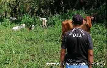 Tras denuncia por hurto pecuario, son recuperadas ocho reses en Escobal, distrito de Bugaba - Panamá América