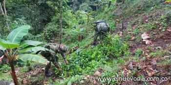 Erradican mil matas de coca en zona rural de Rioblanco - El Nuevo Dia (Colombia)