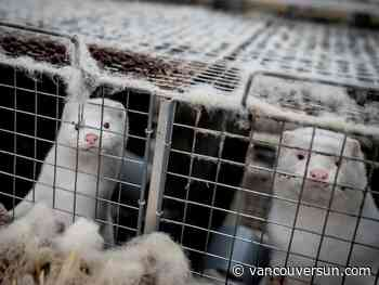 Fraser Valley mink farmer decides to destroy 1,000 animals after positive COVID-19 tests