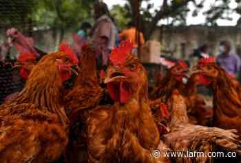 Las 25.000 gallinas robadas en Repelón, Atlántico, fueron vendidas por $5.000 - La FM