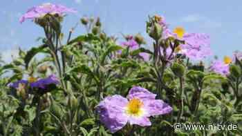 Als Lutschbonbon erhältlich: Alte Heilpflanze kann Sars-CoV-2 stoppen