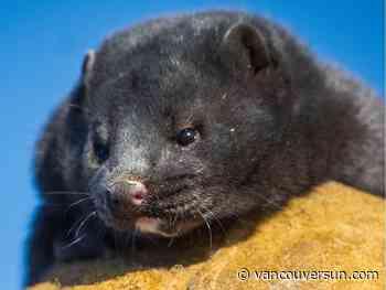 B.C. mink killed for fur after positive COVID-19 tests