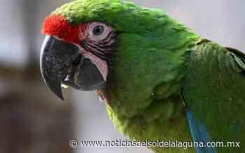 Logran reproducción del Guacamayo Verde - Noticias del Sol de la Laguna