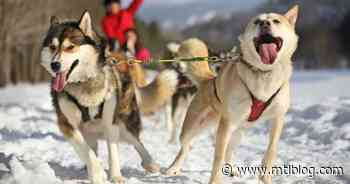 Locals Can Go Dog Sledding At Mont-Tremblant & It's The Most Canadian Thing Ever - MTL Blog