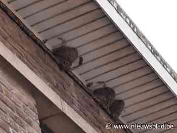 Natuurwerkgroep De Kerkuil telde vorig jaar 1.552 huiszwaluwnesten