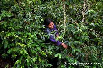 Mujeres de Anolaima le apuestan al café y a su independencia - RCN Radio