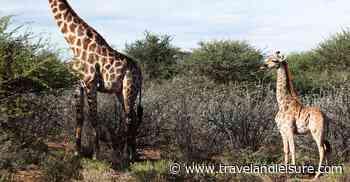Take a Minute and Enjoy This Tiny Dwarf Giraffe Named Gimli - Travel+Leisure