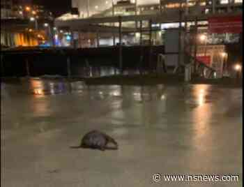 Watch this beaver waddle around downtown Vancouver (VIDEO) - North Shore News