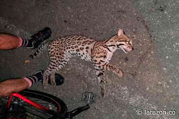 Muere atropellado un tigrillo en la vía a Ayapel – La Apartada - LA RAZÓN.CO