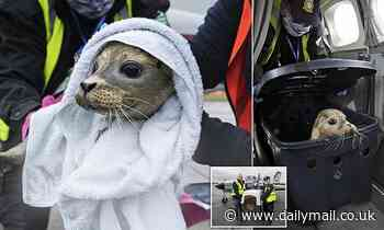 Seal pup who was found severely injured on a beach is transported to safety in 400-mile mercy dash