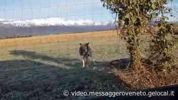 Un lupo appare a Roveredo in Piano: filmato da un automobilista - Messaggero Veneto