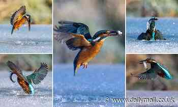 Catch of the day! Kingfisher swoops into icy lake to capture its dinner - Daily Mail