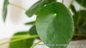 Pilea (Ufopflanze) pflegen: So wächst die hübsche Zimmerpflanze schnell