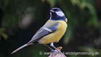 Kohlmeise: So lebt der bekannte Gartenvogel und das frisst er