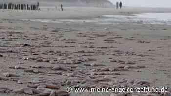 Trauriges Phänomen: Seesterne sterben zu Tausenden an der Ostsee