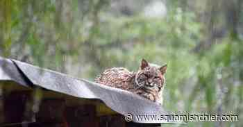Bobcat spotted chilling on shed roof in North Vancouver (PHOTOS) - Squamish Chief