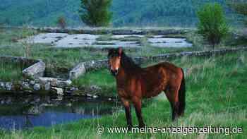 Reiten trotz Pferdeallergie: Sind Curly Horses für Allergiker geeignet?