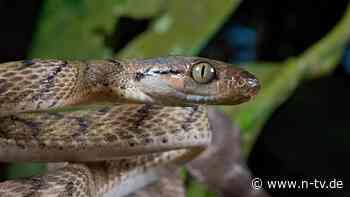 Zum Überwinden von Hindernissen: Fünfte Fortbewegungsart von Schlangen entdeckt