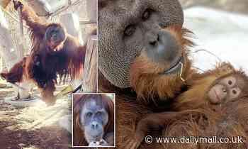 Denver zoo male orangutan cares for daughter after mother died