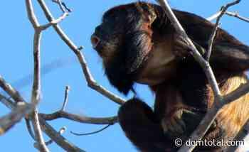 Espécie ainda pouco conhecida, o guariba-da-caatinga está ameaçado de extinção - Dom Total